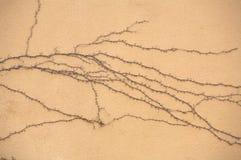 Hiedra secada de las raíces Fotografía de archivo libre de regalías
