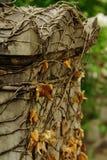 Hiedra secada en una tumba Fotografía de archivo libre de regalías