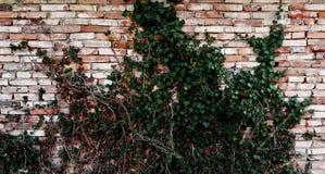 Hiedra venenosa Foto de archivo libre de regalías