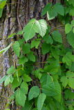 Hiedra venenosa en el bosque Fotografía de archivo