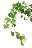 Hiedra verde Imagen de archivo libre de regalías