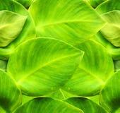 Hiedra verde Imagenes de archivo
