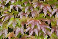Hiedra verde de la pared Foto de archivo libre de regalías