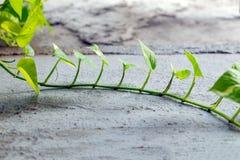 Hiedra verde de la planta en piso Imagen de archivo libre de regalías