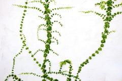 Hiedra verde del árbol en una pared Imágenes de archivo libres de regalías