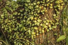 hiedra verde en el árbol Fotos de archivo libres de regalías