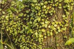 hiedra verde en el árbol Foto de archivo libre de regalías