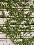 Hiedra verde en la pared fotos de archivo libres de regalías