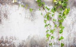 Hiedra verde en la pared del cemento Foto de archivo libre de regalías