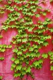 Hiedra verde en la pared rosada Imágenes de archivo libres de regalías