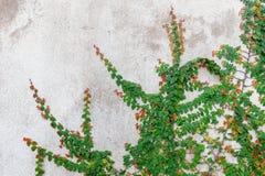 Hiedra verde imágenes de archivo libres de regalías