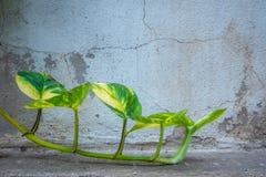 Hiedra verde fresca en viejo fondo agrietado de la pared del cemento imagenes de archivo