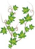 Hiedra verde. Ilustración del vector Fotos de archivo