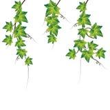 Hiedra verde. Ilustración del vector Foto de archivo