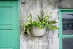 Hiedra y otras plantas en el pote en el muro de cemento rústico Imagen de archivo