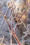 Hiele el borde en ramas del cornejo de mimbre rojo Foto de archivo libre de regalías