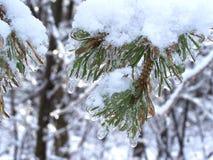 Hielo del primer que cubre las fotos de pino de una rama-acción del árbol Imagenes de archivo