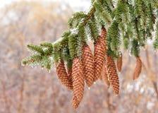Hielo en el árbol de hoja perenne Imágenes de archivo libres de regalías