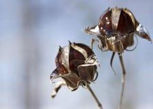 Hielo en las vainas de la semilla Imagenes de archivo