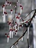 Hielo en un manzana-árbol Foto de archivo libre de regalías