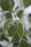 Hielo-flor Foto de archivo libre de regalías