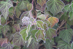 Hielo-flor Imagen de archivo libre de regalías