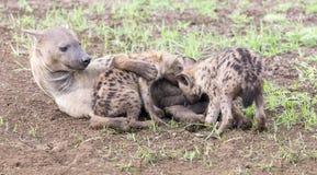 Hien lisiątka karmi na ich matce jako część rodziny Fotografia Stock