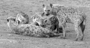 Hien lisiątka karmi na ich matce jako część rodziny Zdjęcie Royalty Free