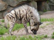 hiena Obrazy Royalty Free