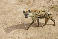 hiena Obrazy Stock