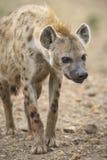 hiena zdjęcie royalty free
