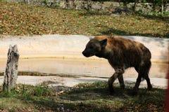 hiena Obraz Stock