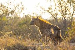 Hiena adulta en el sol 1 de la madrugada Imagen de archivo libre de regalías