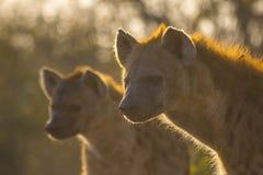 Hiena adulta en el sol 4 de la madrugada Imágenes de archivo libres de regalías