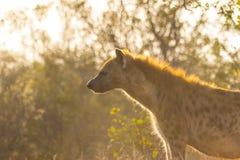 Hiena adulta en el sol 3 de la madrugada Foto de archivo libre de regalías