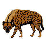 Hiena adulta preto manchado da cor Fotografia de Stock