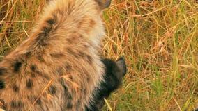 Hiena com um bebê, Masai Mara