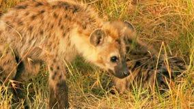 Hiena con dos bebés, Masai Mara almacen de metraje de vídeo
