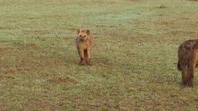 Hiena con el cachorro en sabana en África metrajes