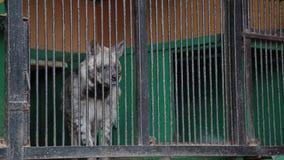 Hiena, crocuta del crocuta que camina en una pequeña jaula del parque zoológico del circo metrajes