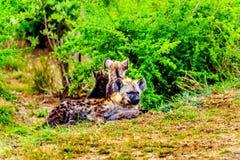 Hiena da mãe com as duas hienas novas no parque nacional de Kruger Fotos de Stock