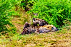 Hiena da mãe com as duas hienas novas no parque nacional de Kruger Imagem de Stock