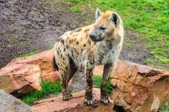 Hiena dans un zoo à Valence, Espagne Image libre de droits