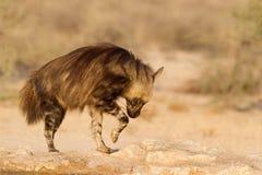 Hiena de Brown que presenta en rocas Fotos de archivo libres de regalías