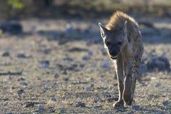 Hiena de Gevlekte, hiena manchada, crocuta del Crocuta imágenes de archivo libres de regalías