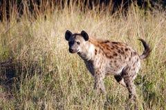 Hiena de Kruger Foto de Stock Royalty Free