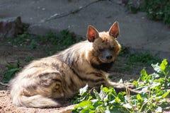 Hiena de la hiena rayada un animal raro en peligro de la extinción, tomando el sol en el sol de la primavera en el parque zoológi imagen de archivo
