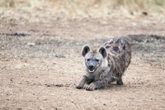Hiena de riso em Masai Mara foto de stock royalty free