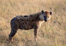 Hiena de riso Spotted no parque de jogo de mara do Masai fotografia de stock royalty free