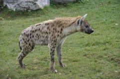 hiena dostrzegał fotografia royalty free